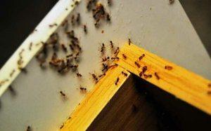 Удаление рыжих муравьев из квартиры