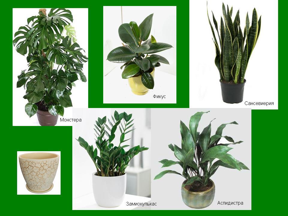 комнатные растения и их названия с фото данном обзоре