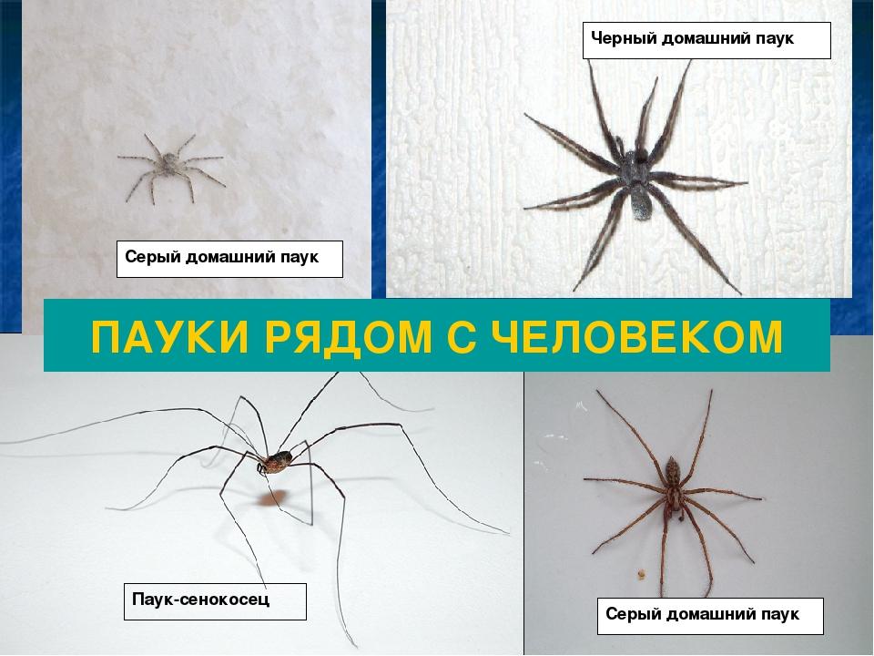 черный паук домашний фото