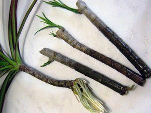 Размножение драцены укоренившиеся черенки