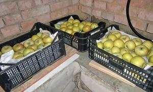 Как хранить зимние яблоки