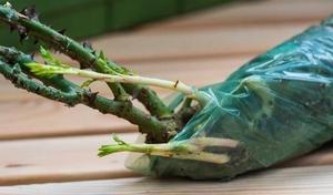 Как сохранить розы из черенка