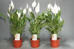 Пересадка растения спатифиллум