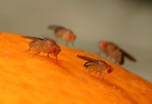 Мелкие мушки дрозофилы на кухне