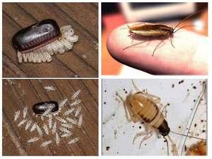 Как бороться с тараканами